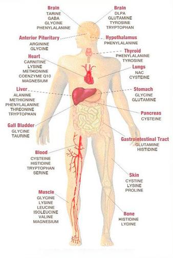 Аминокислоты для человеческого организма